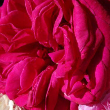 Umgebung | Rose